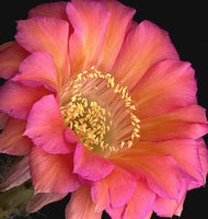 Echinopsis Cactus Monet - Art Prints by Richard Reynolds