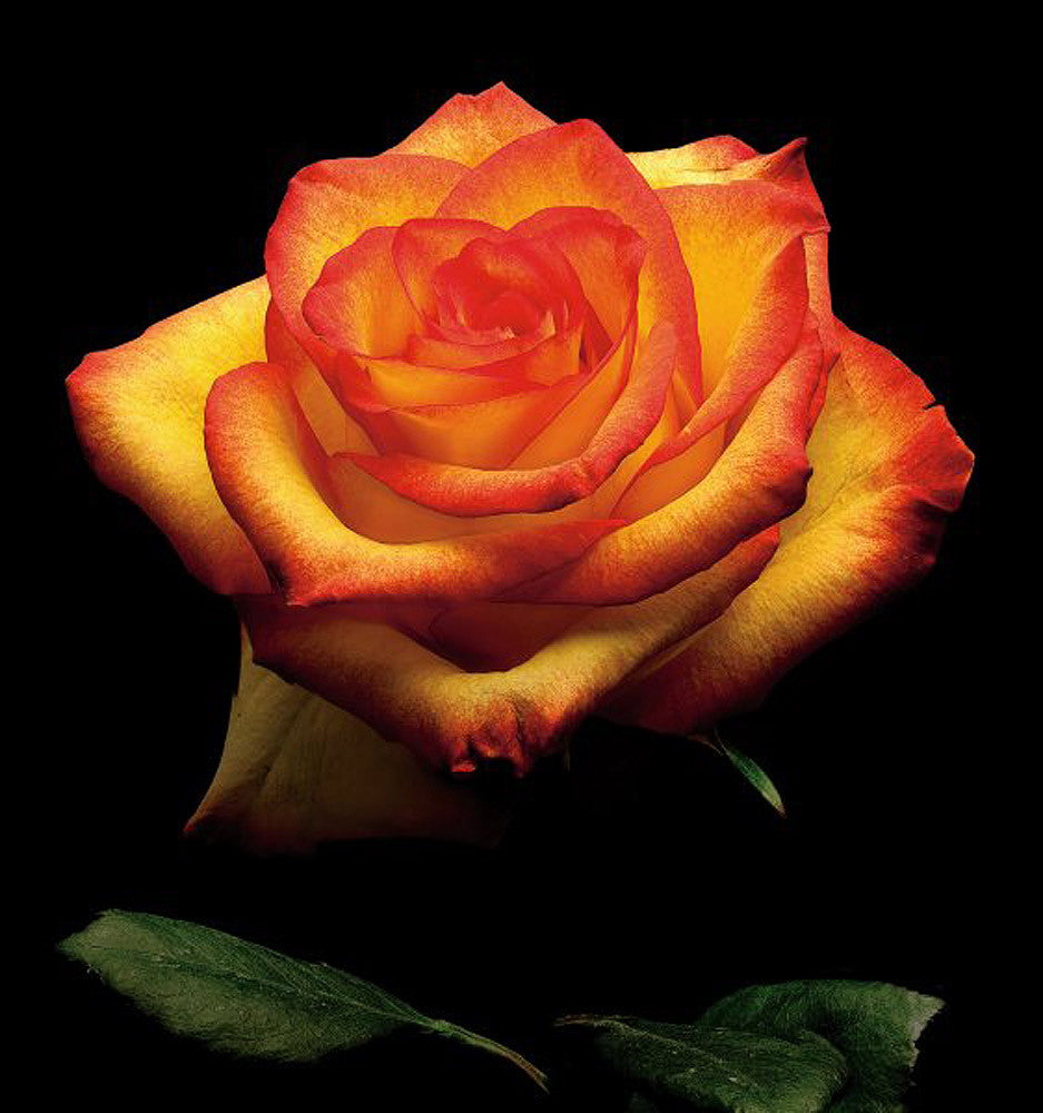 Garden Rose 2 - Art Prints by Richard Reynolds