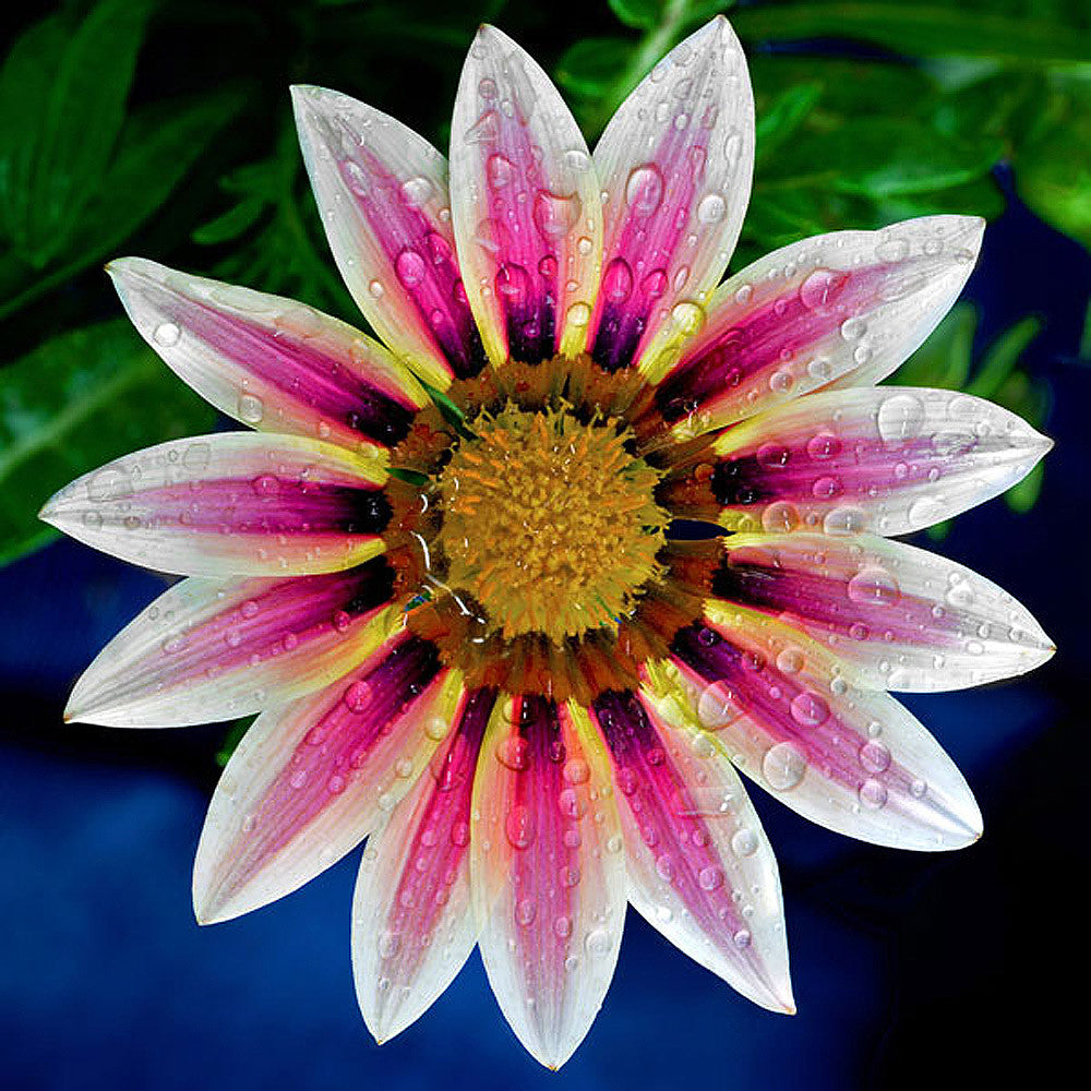 Gazania - Art Prints by Richard Reynolds