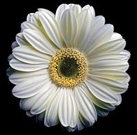 Gerbera Daisy 2 - Art Prints by Richard Reynolds
