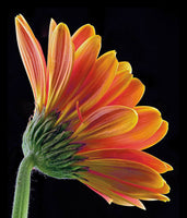 Gerbera Daisy - Art Prints by Richard Reynolds