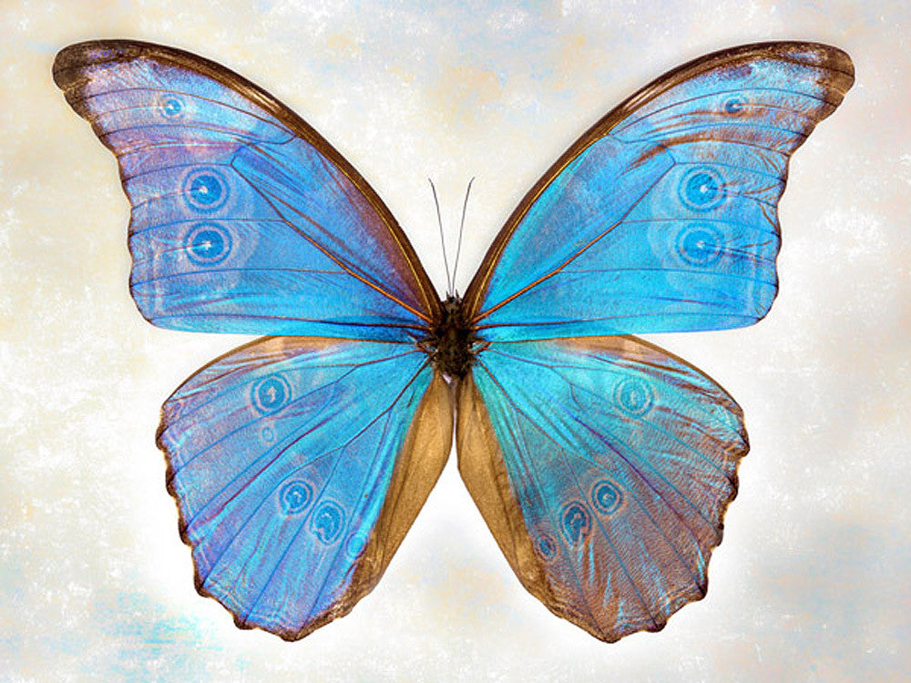 Godarts Morpho - Art Prints by Richard Reynolds