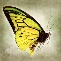 Goliath Birdwing - Art Prints by Richard Reynolds