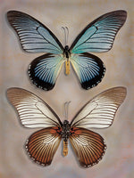 Great Blue Swallowtail Top Underside - Art Prints by Richard Reynolds