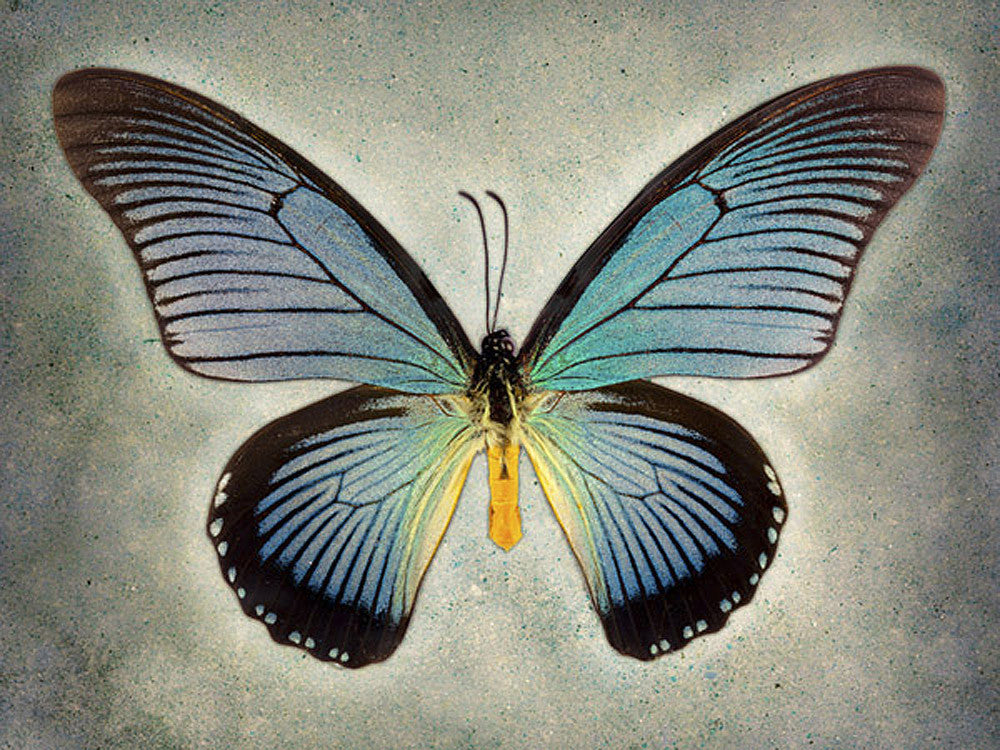 Great Blue Swallowtail - Art Prints by Richard Reynolds