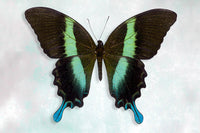 Green Swallowtail - Art Prints by Richard Reynolds
