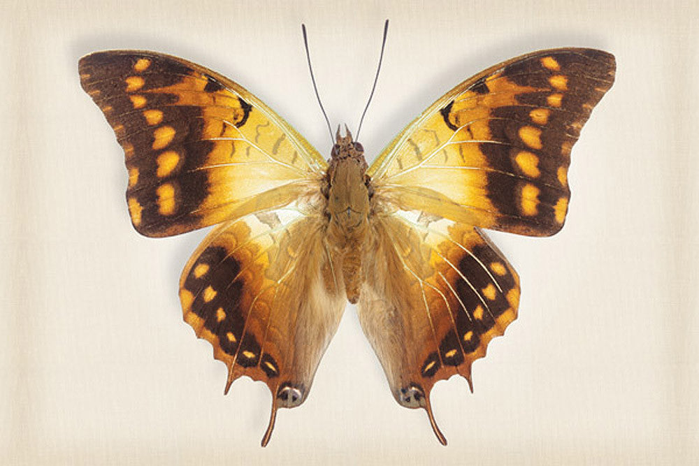 Green Veined Emperor - Art Prints by Richard Reynolds