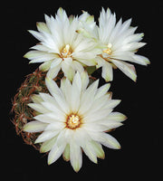 Gymnocalycium Mesopotamicum - Art Prints by Richard Reynolds