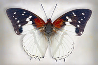 Hadrians White Charaxes - Art Prints by Richard Reynolds