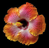 Hibiscus - Exotica - Art Prints by Richard Reynolds