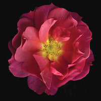 Hybrid Rose Cinco de Mayo - Art Prints by Richard Reynolds