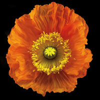 Iceland Poppy - Art Prints by Richard Reynolds