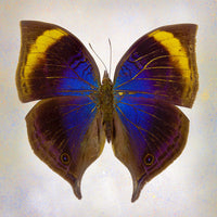 Indian-Leaf Butterfly - Art Prints by Richard Reynolds