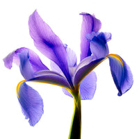 Iris Blue - Art Prints by Richard Reynolds