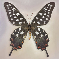 Madagascan Swallowtail - Art Prints by Richard Reynolds