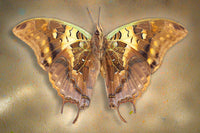 Madagascar Green Veined Charaxes - Art Prints by Richard Reynolds