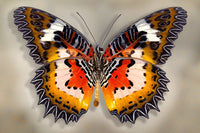 Malay Lacewing - Art Prints by Richard Reynolds