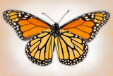 Monarch Butterfly – Art Prints by Richard Reynolds