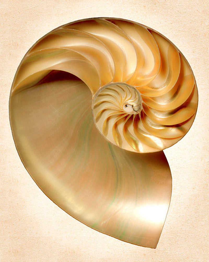 Nautilus Section - Art Prints by Richard Reynolds