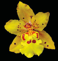 Orchid Odontocidium - Mayfair - Art Prints by Richard Reynolds