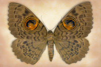 Owlet Moth - Art Prints by Richard Reynolds