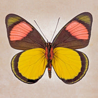 Painted Beauty Underside - Art Prints by Richard Reynolds