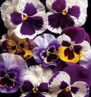 Pansies - Art Prints by Richard Reynolds