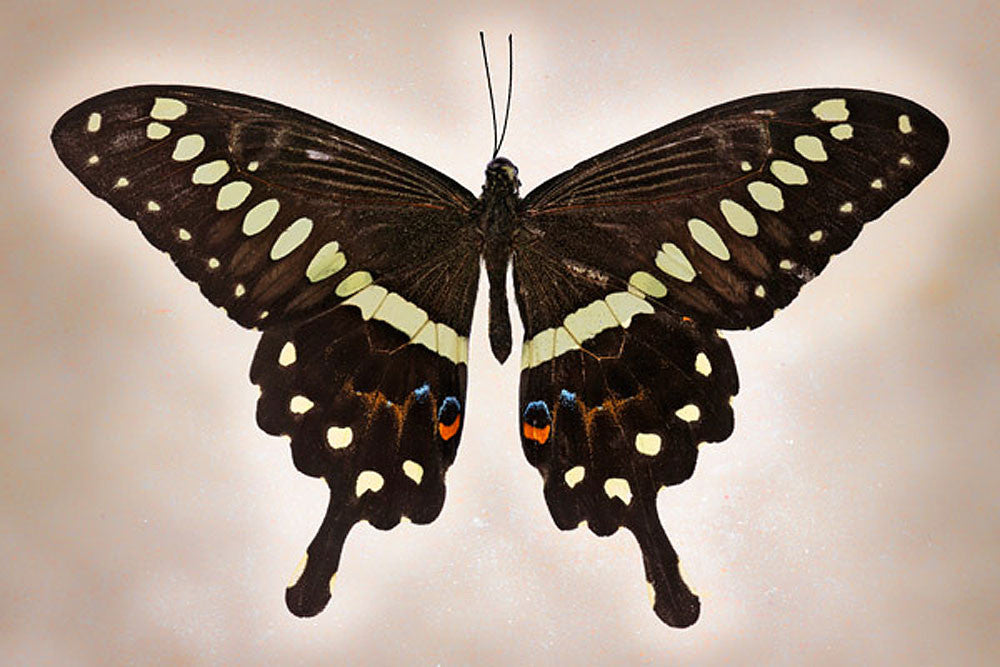 Papilio Lormieri - Art Prints by Richard Reynolds