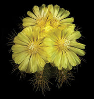 Parodia Magnifica - Art Prints by Richard Reynolds