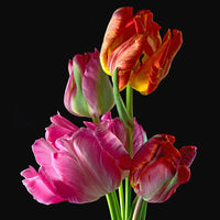 Parrot Tulips 2 - Art Prints by Richard Reynolds