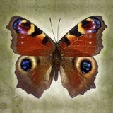 Peacock Butterfly - Art Prints by Richard Reynolds