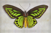Priams Birdwing - Art Prints by Richard Reynolds