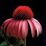 Purple Coneflower - Art Prints by Richard Reynolds