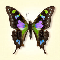 Purple Spotted Swallowtail - Art Prints by Richard Reynolds