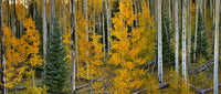Quaking Aspen Trees - Art Prints by Richard Reynolds
