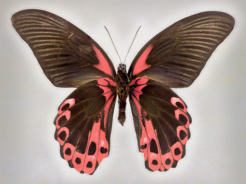 Red Mormon - Art Prints by Richard Reynolds