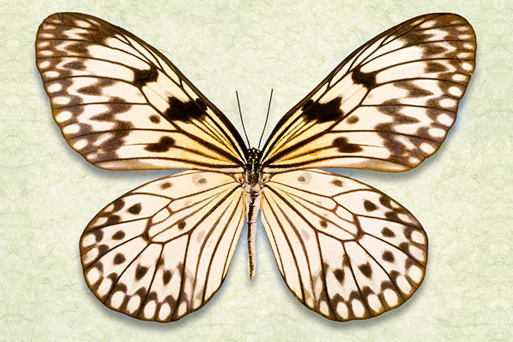 Rice Paper Butterfly - Art Prints by Richard Reynolds