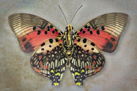 Shining Red Charaxes - Art Prints by Richard Reynolds