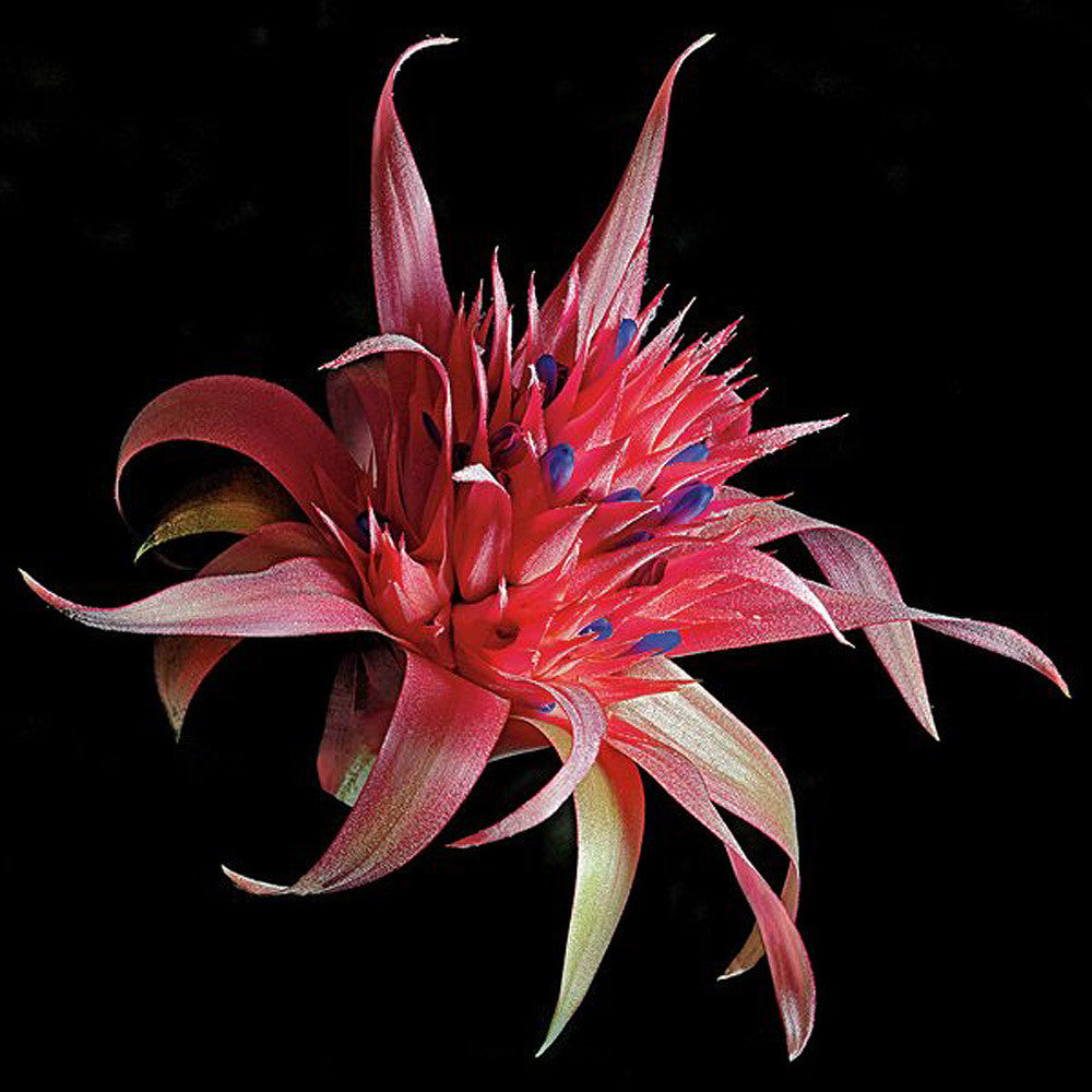 Silver Vase Bromeliad - Art Prints by Richard Reynolds