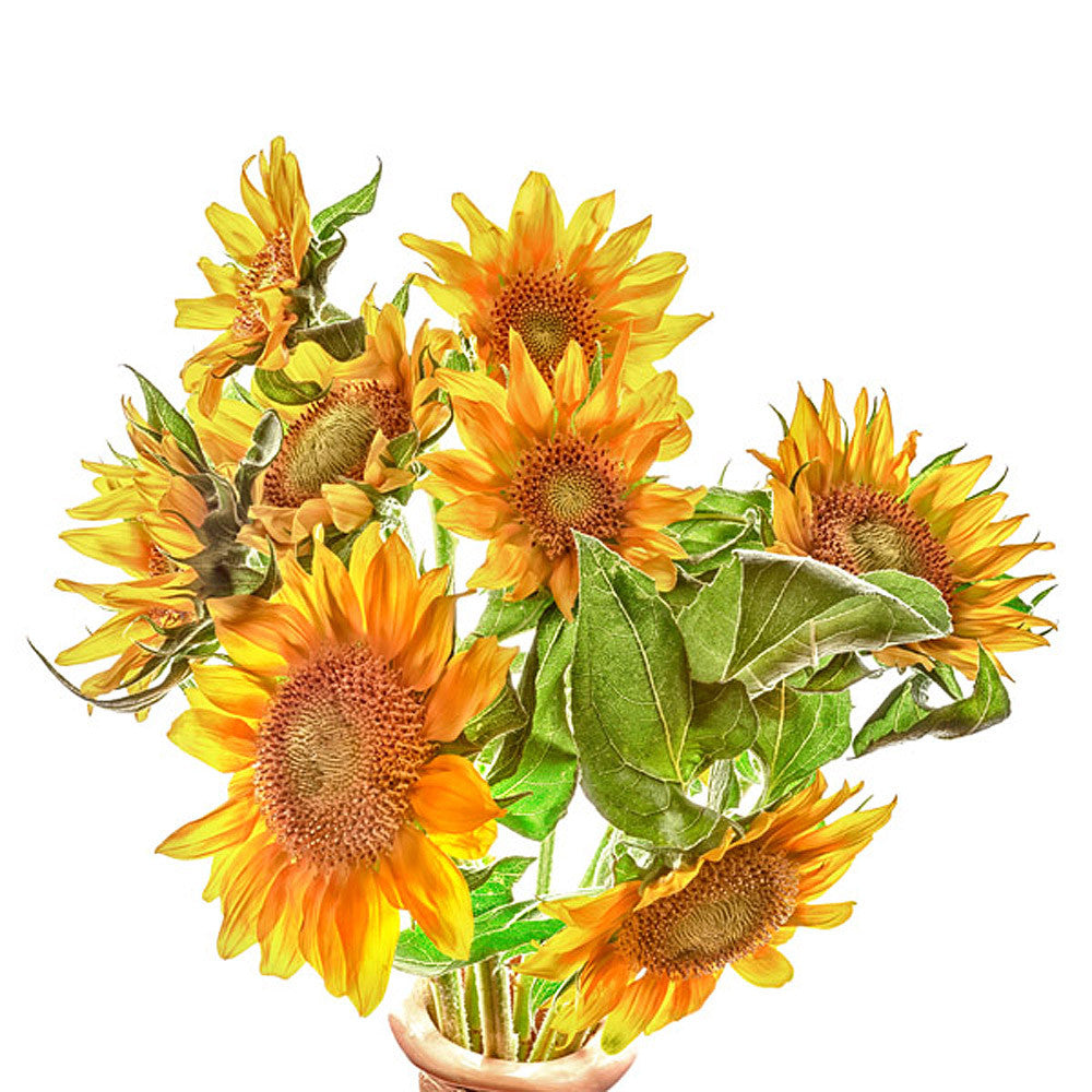 Sunflowers - Art Prints by Richard Reynolds