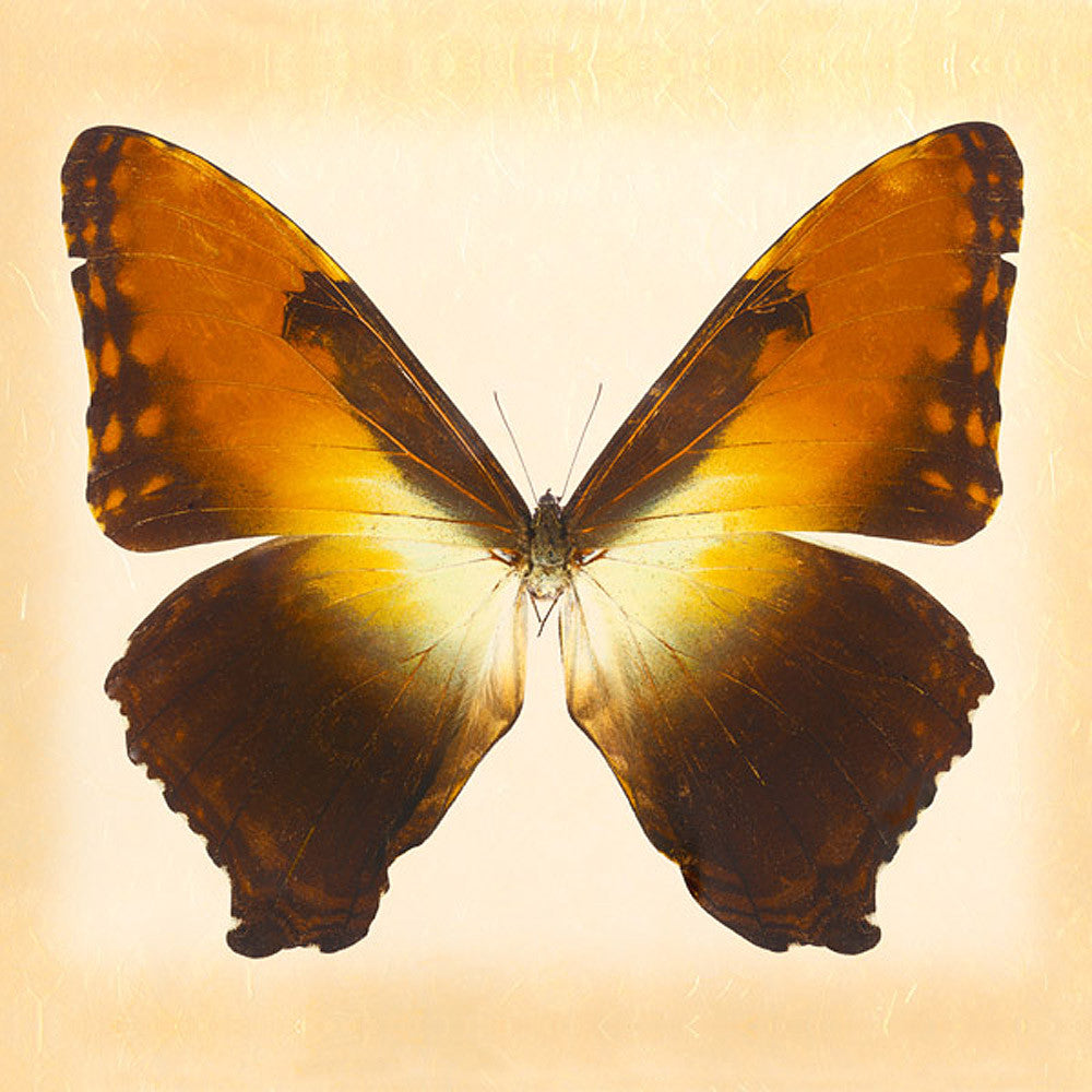 Sunset Morpho - Art Prints by Richard Reynolds