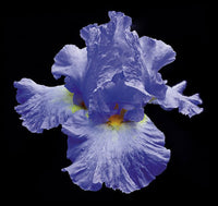 Tall Bearded Iris 2 - Art Prints by Richard Reynolds
