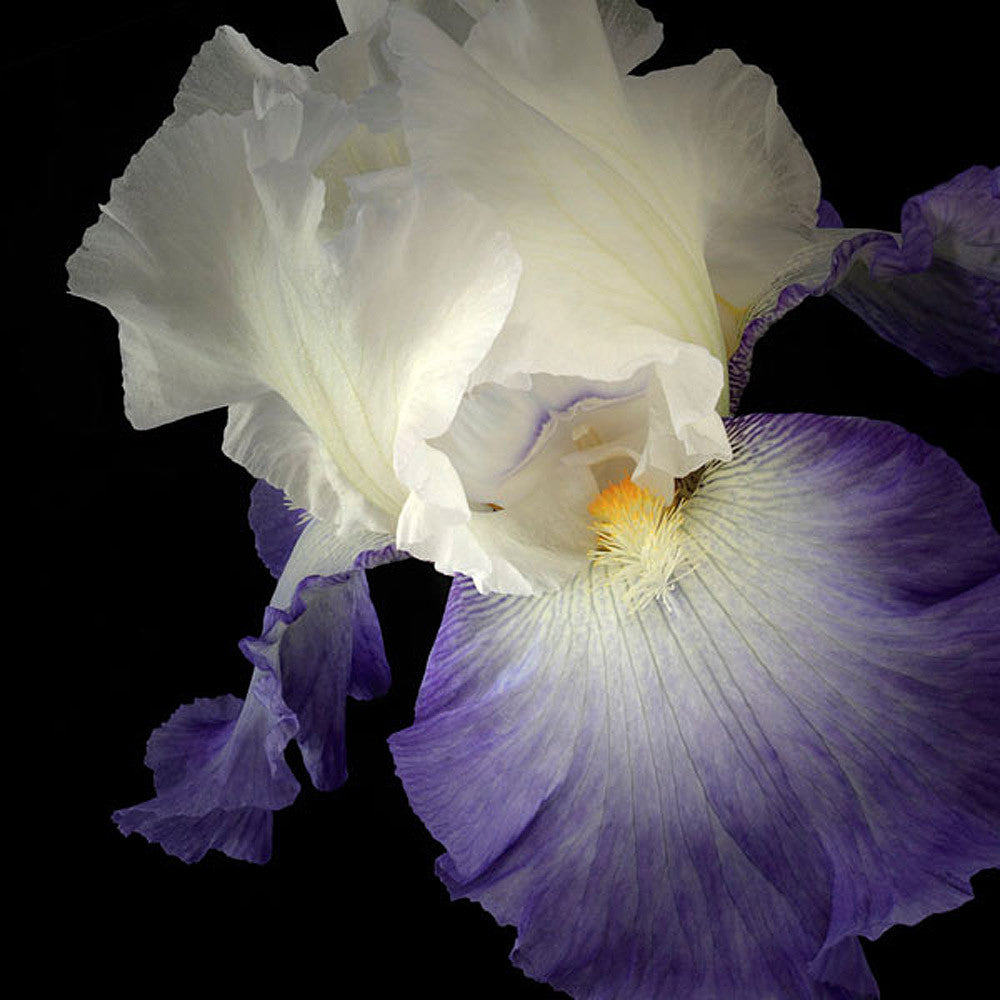 Tall Bearded Iris 9 - Art Prints by Richard Reynolds