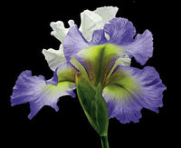 Tall Bearded Iris - Alizes - Art Prints by Richard Reynolds