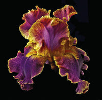 Tall Bearded Iris - Entangled - Art Prints by Richard Reynolds