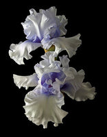 Tall Bearded Iris - Willamette Mist - Art Prints by Richard Reynolds