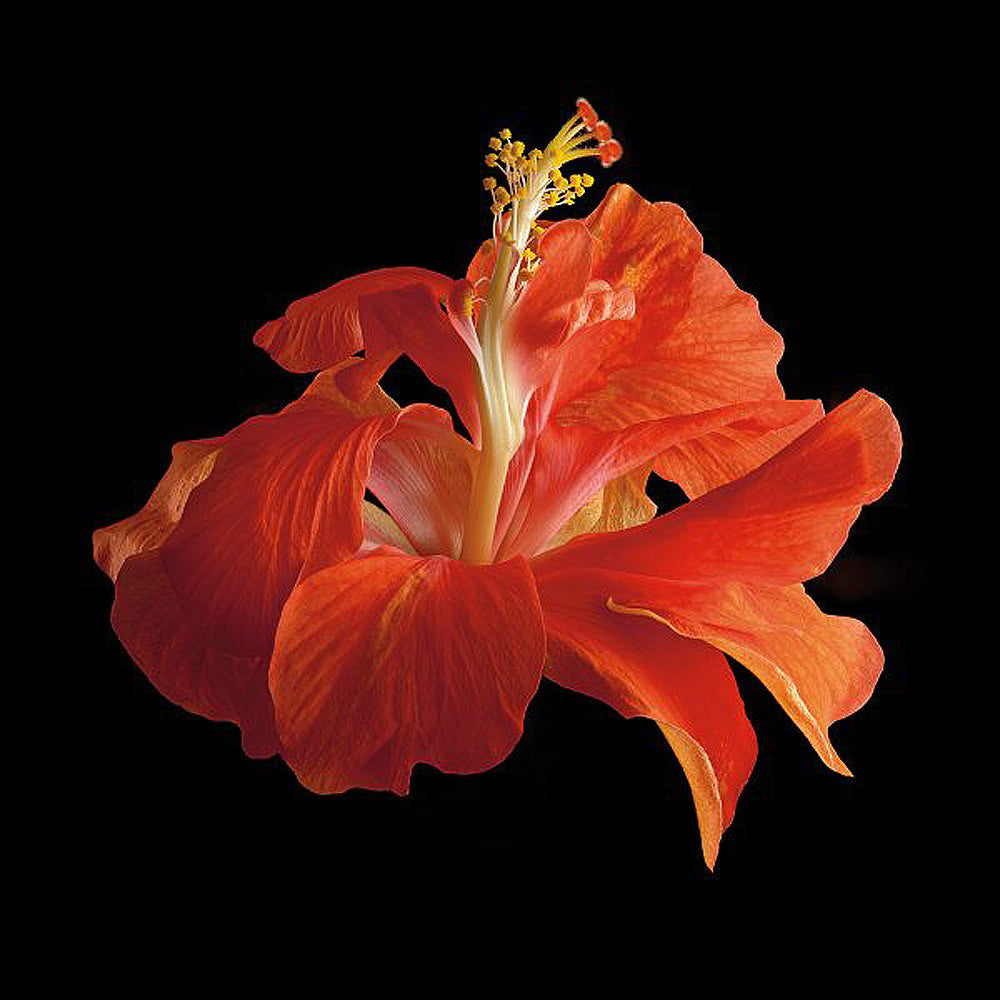 Tropical Hibiscus - Double Orange - Art Prints by Richard Reynolds