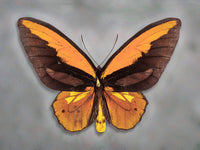 Wallaces Golden Birdwing - Art Prints by Richard Reynolds