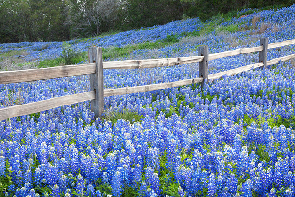 Bluebonnet Fence Near Llano Texas by Rob Greebon
