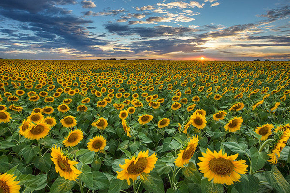 Texas Sunflower Sunset 2 by Rob Greebon